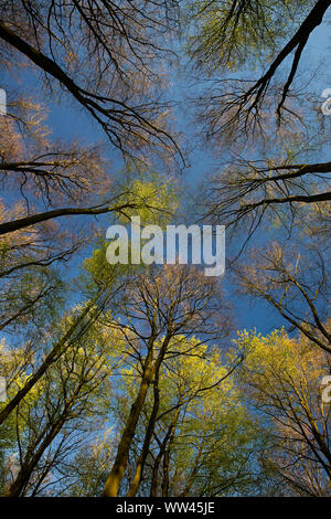 View of the sky through the trees. Looking up through the Beech trees with bare branches and new spring green leaves. Blue sky above - Stock Photo