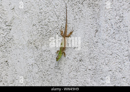 Italian wall lizard bright green and close up Latin name podarcis sicula muralis crawling down a wall in Italy - Stock Photo