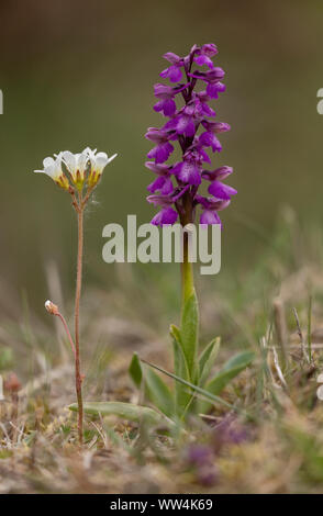 Green-winged Orchid, Anacamptis morio,  and Meadow Saxifrage, Saxifraga granulata, in flower in old grassland. - Stock Photo