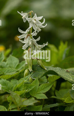 Drooping star-of-Bethlehem, Ornithogalum nutans, in flower. Naturalised in light woodland. - Stock Photo