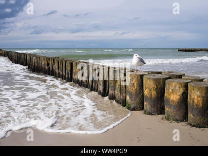 Groynes in the Baltic Sea, herring gull (Larus argentatus), coast at Wustrow, Fischland, Fischland-Darß-Zingst, Mecklenburg-West Pomerania, Germany - Stock Photo
