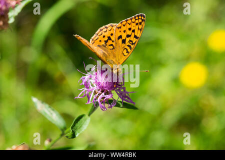 High brown fritillary (Argynnis adippe) on brown knapweed (Centaurea jacea), Isar floodplains near Königsdorf, Upper Bavaria, Bavaria, Germany - Stock Photo