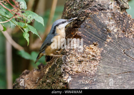 Nuthatch (Sitta europaea) hiding seeds in crevices. Blue grey upperparts buff underparts  chestnut flanks long black bill and black stripe through eye - Stock Photo