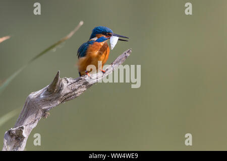 Kingfisher (Alcedo atthis) male on perch long dagger-like bill orange underparts and cheeks upper parts electric blue. White throat and neck patches. - Stock Photo