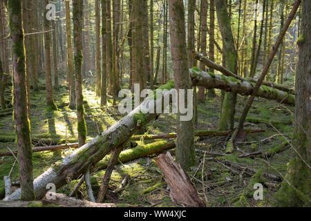 Alluvial forest, Isar floodplains, Geretsried, Pupplinger Au, Upper Bavaria, Bavaria, Germany - Stock Photo