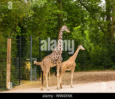 Giraffes live in a zoo - Stock Photo