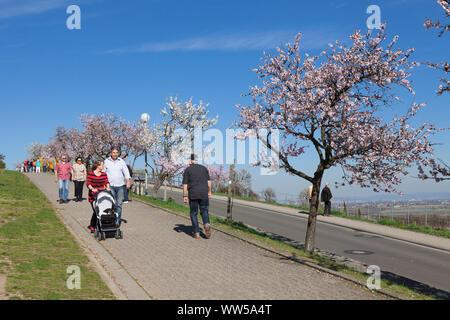 Almond blossom, Gimmeldingen, near Neustadt an der Weinstraße, German Wine Route, Rhineland-Palatinate, Germany - Stock Photo