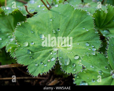 Drops of water on a leaf of the lady's mantle (Alchemilla) - Stock Photo