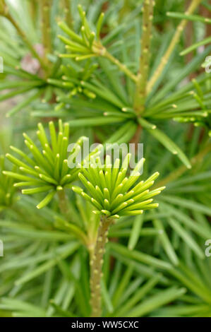 Close-up of the branches and needles of the Japanese umbrella-pine, - Stock Photo