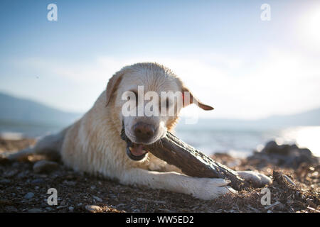 white Labrador with wet fur playing with piece of wood on the beach - Stock Photo