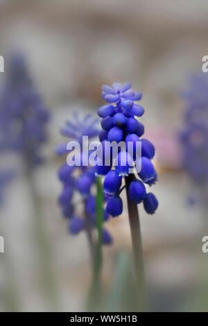Grape hyacinth blossoms, Muscari latifolium - Stock Photo