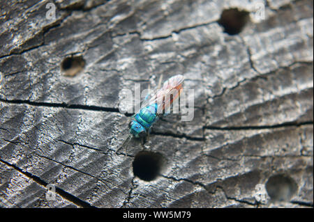 Macro close-up of a ruby-tailed wasp on a piece of wood, - Stock Photo