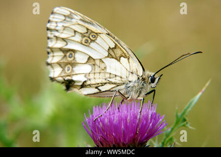 Nature photography of a butterfly, marbled white, Melanargia galathea on a thistle blossom, - Stock Photo