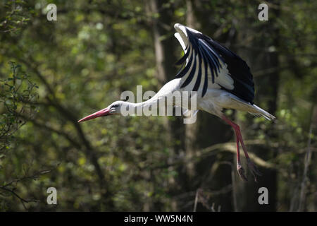 White stork, Ciconia ciconia, flying up - Stock Photo