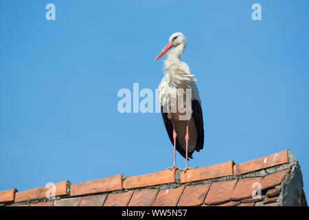 White stork, Ciconia ciconia, single on roof - Stock Photo