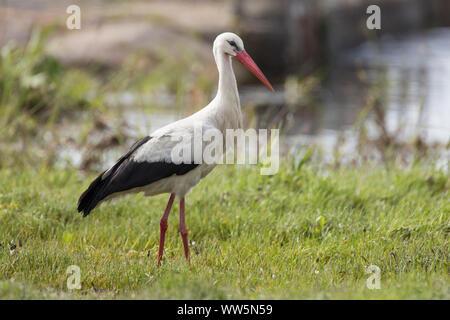 White stork, Ciconia ciconia, on meadow - Stock Photo