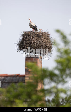 White stork, Ciconia ciconia, couple on stork's nest - Stock Photo