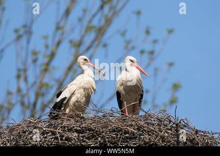 White stork, Ciconia ciconia, couple on nest - Stock Photo