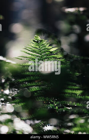 A fern frond in the forest in the early morning sunlight, - Stock Photo