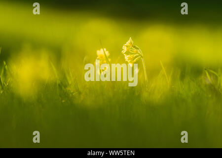 Common cowslip (Primula veris), alpine spring flower on a mountain pasture - Stock Photo
