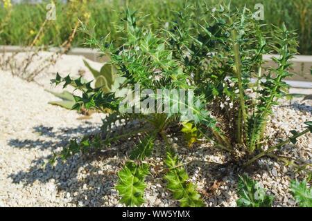 Succulents - stone garden - Stock Photo
