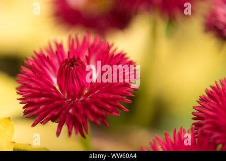 Daisies, red, Bellis perennis, detail, - Stock Photo