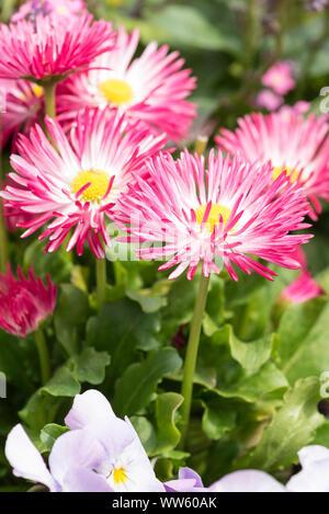 Daisies, pink, Bellis perennis, detail, - Stock Photo