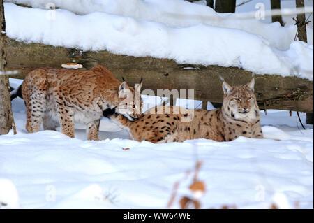 Eurasian lynxes in the snow, Lynx lynx - Stock Photo