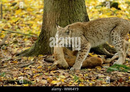 Eurasian lynx with prey, Lynx lynx - Stock Photo