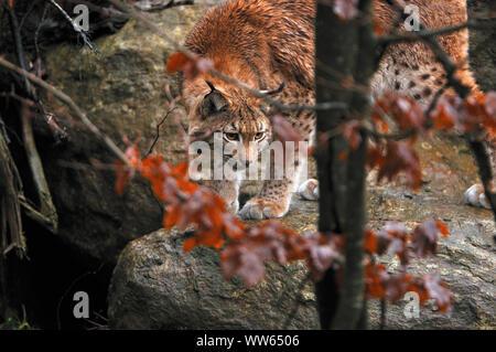 Eurasian lynx in the forest, Lynx lynx - Stock Photo