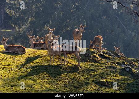 Herd of red deer on mountain meadow, Cervus elaphus - Stock Photo