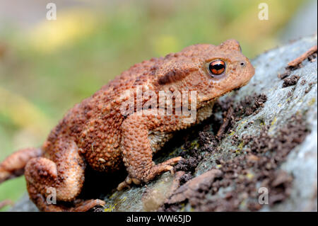 Young common toad, Bufo bufo - Stock Photo