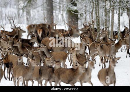 Red deer in the snow, Cervus elaphus - Stock Photo