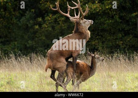 Red deer mating, Cervus elaphus - Stock Photo