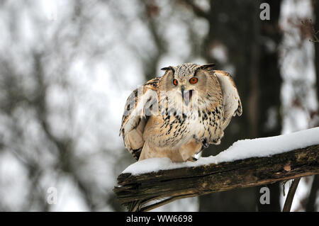 Siberian eagle-owl in the forest, bubo bubo sibiricus - Stock Photo