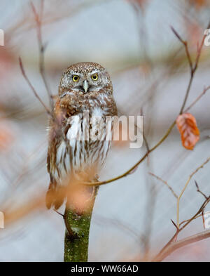 Eurasian pygmy owl, Glaucidium passerinum - Stock Photo