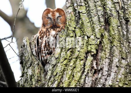 Tawny owl on tree, Strix aluco - Stock Photo