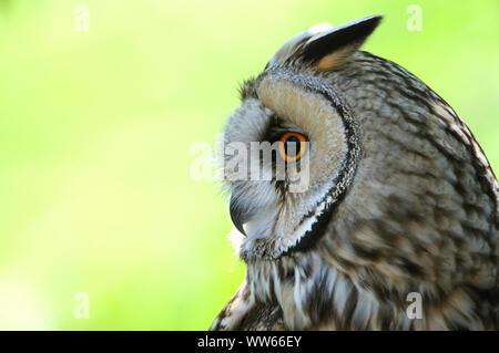 Long-eared owl on tree, Asio otus, close-up - Stock Photo
