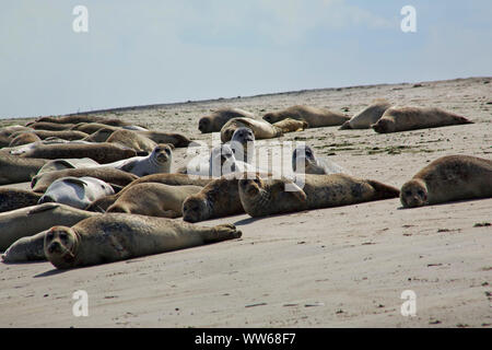 Seals on the beach at the east point on the island Norderney. - Stock Photo