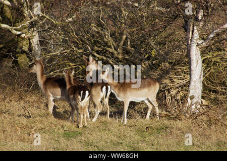 Fallow deer in the south beach polder of the island Norderney - Stock Photo