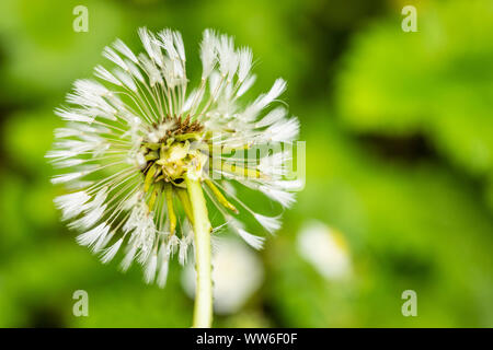 Closeup of a withered dandelion bloom, blowball. - Stock Photo