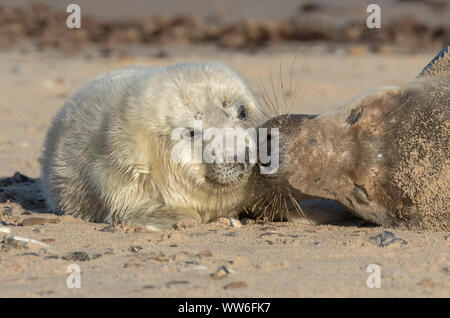 Atlantic Grey Seal mother and pup - Stock Photo