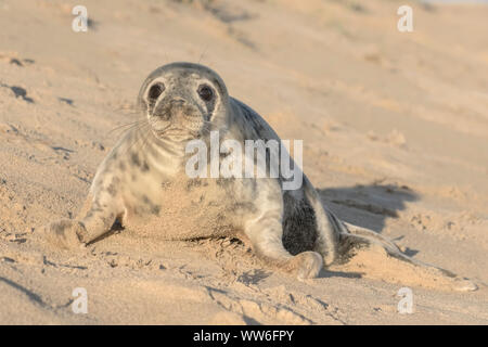 Atlantic Grey Seal pup at four weeks old - Stock Photo
