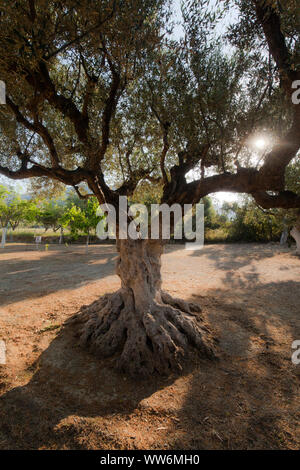 Olive tree with lime painting in Greece - Stock Photo