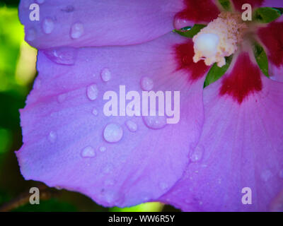 Rose Of Sharon With Water Rain Drops On Pink Petals - Stock Photo