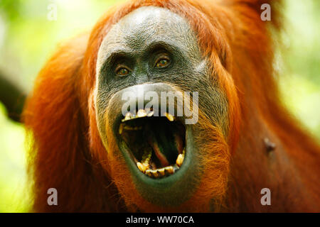 Sumatra, Bukit Lawang, orangutan - Stock Photo