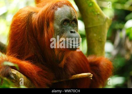 Sumatra, Bukit Lawang, orangutan - Stock Photo