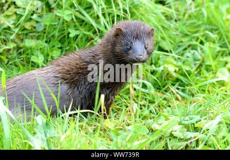 American mink on the prowl, Neovison vison - Stock Photo