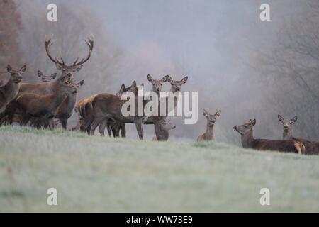 Group of red deer, Cervus elaphus, forest glade, autumn mist - Stock Photo