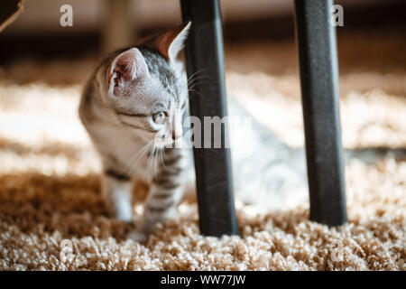 One month old and cute silver tabby of an American Shorthair kitten is looking at something specious with a little of sunshine - Stock Photo
